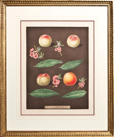 Wall Art: Plate 25 - White Avant Peach, Bears Red Avant, White Magdalen, Red Magdalen