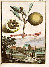 Aranzo Citrus Fruit Plates by Johann Volckamer 1708