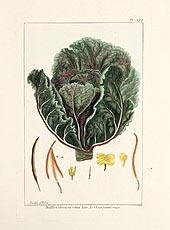 Braffica Oleracea Rubra by Pierre Joseph Buchoz 1781