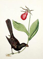 The Razor-Billed Blackbird of Jamaica by Mark Catesby 1771