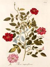 Rosa Semperflorens by Nicolaus Joseph Jacquin 1797-1804