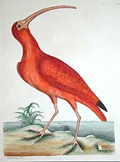 Scarlet Ibis by Mark Catesby 1754