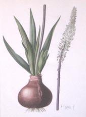 Scilla-Maritima by Pierre-Joseph Redoute 1802