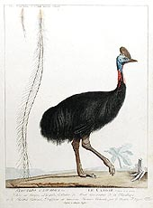 Struthio Casuarius by Simon Charles Miger circa 1800