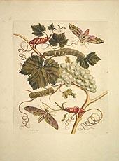 Trauben mit Schmetterlingen und Raupen by Maria Sybilla Merian 1705