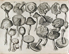 Image of fungus from Theatrum Fungorum by Franciscus van Sterbeeck