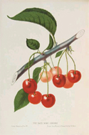 Chromolithograph plate from The Fruits of America, 1856