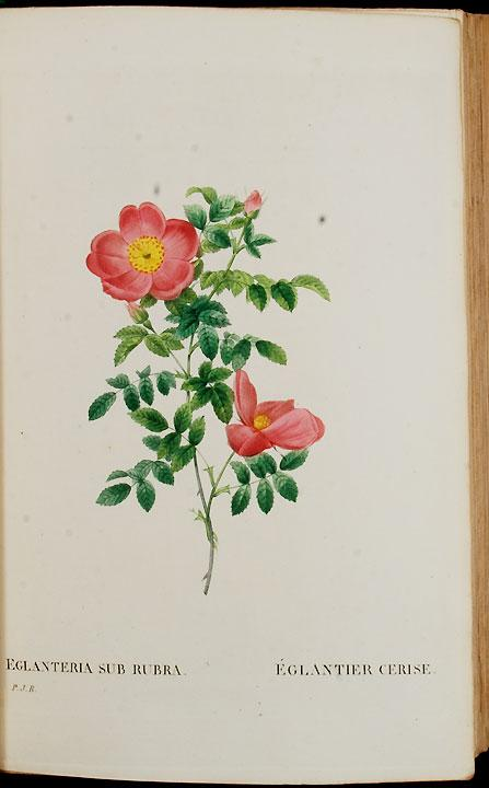 Les Roses by Pierre-Joseph Redout�